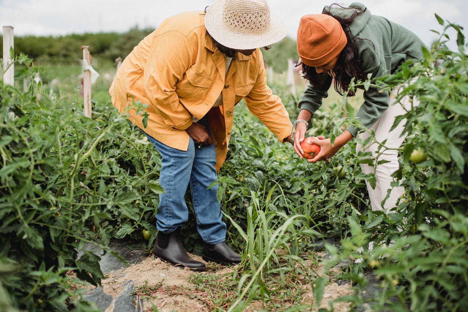 anonymous local female farmers picking vegetables during harvesting season in garden